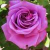 violetarosa