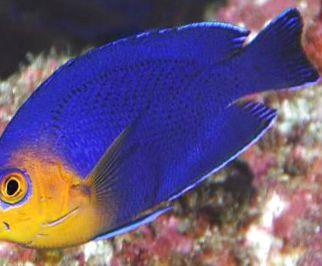 pez marino comestible parecido a la sardina de mayor